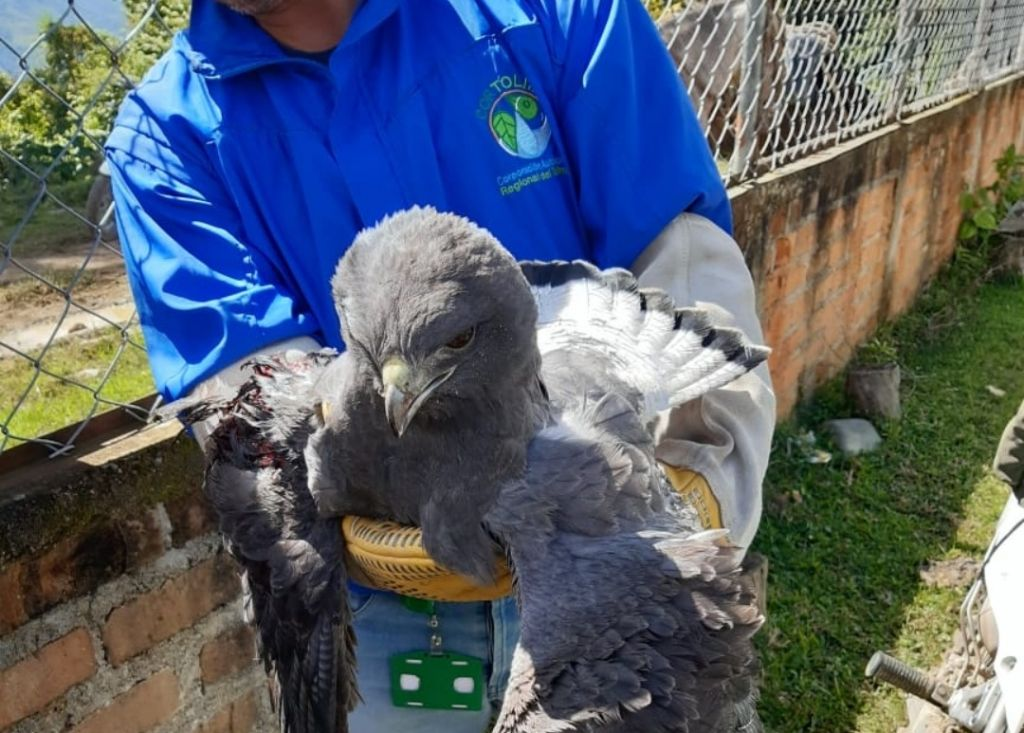 Gavilán coliblanco recibió la eutanasia tras graves lesiones