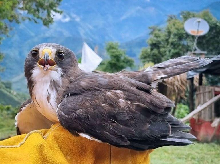 Dos niños del municipio de Chaparral salvaron la vida de un águila cola corta